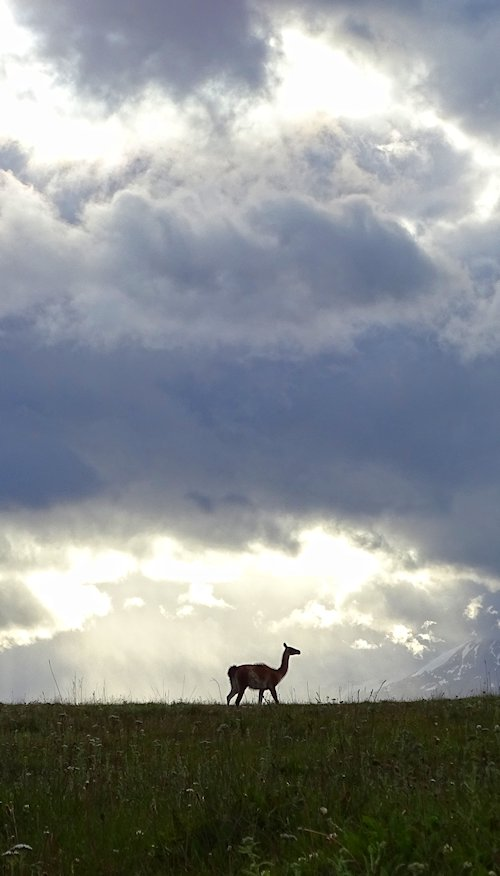 Guanaco posing at sunset in Estancia Valle Chacabuco