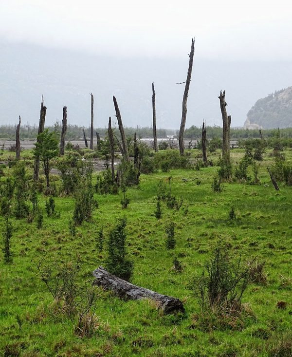 Patagonian trees are tough and remain standing long after their death.