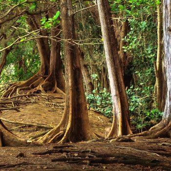 Tropical forest on Kauai, Hawaii.