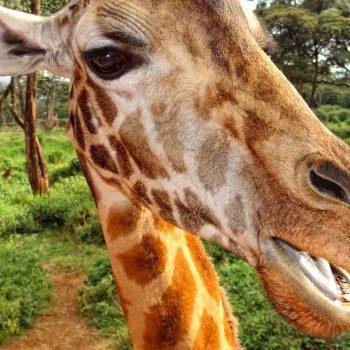 Happy giraffe outside Nairobi, Kenya.