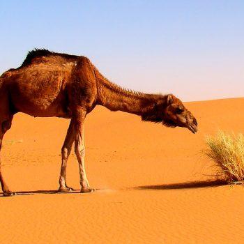 Dromedary inspecting desert plants near Merzouga, Morocco.