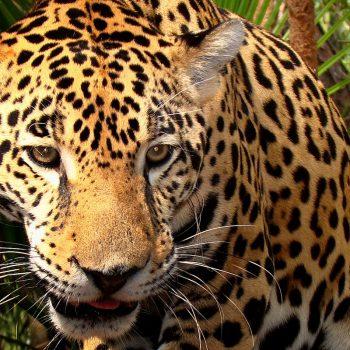 Junior the Jaguar at Belize Zoo.