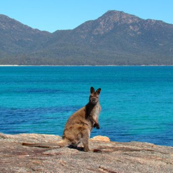 Bennet's Wallaby on a beach in Freycinet, Tasmania, Australia.