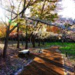 Sakura towards the end, in Maruyama Park, Sapporo, Japan