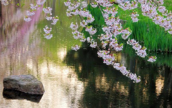 Sakura in the park.