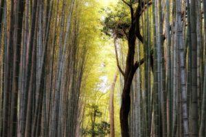 Arashiyama Bamboo Grove, Kyoto, Japan.