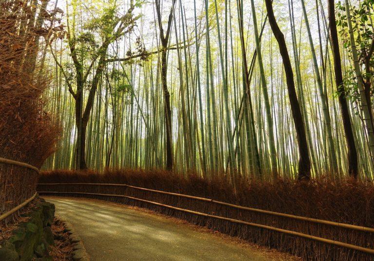 A bend on the trail through Arashiyama Bamboo Grove.
