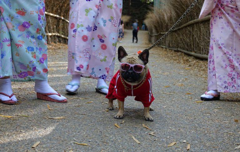 Bling dog in Arashiyama Bamboo Grove.