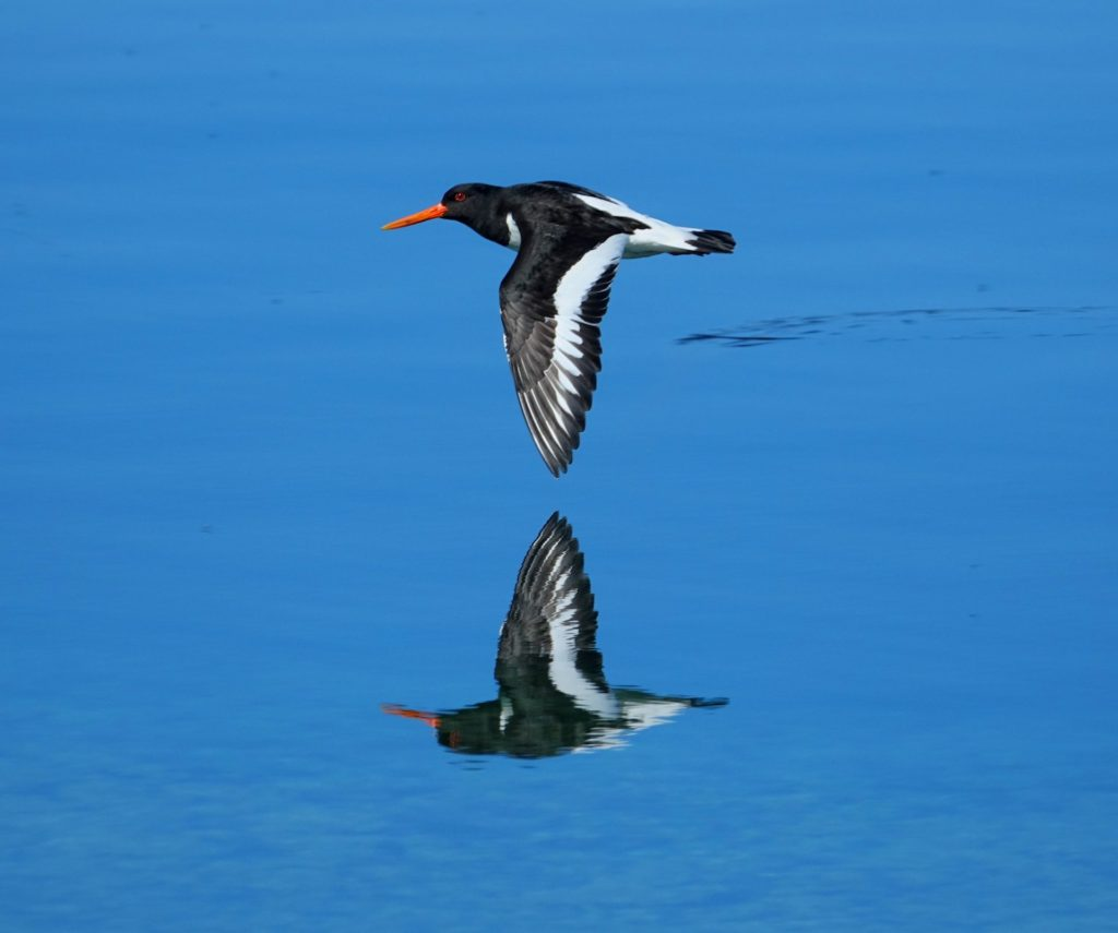 Oystercatchers are skilled in the air, you'll have trouble seeing this guy on the radar.