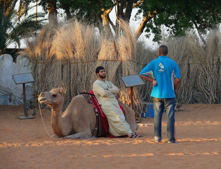 Casual camel in the Heritage Village in Abu Dhabi.