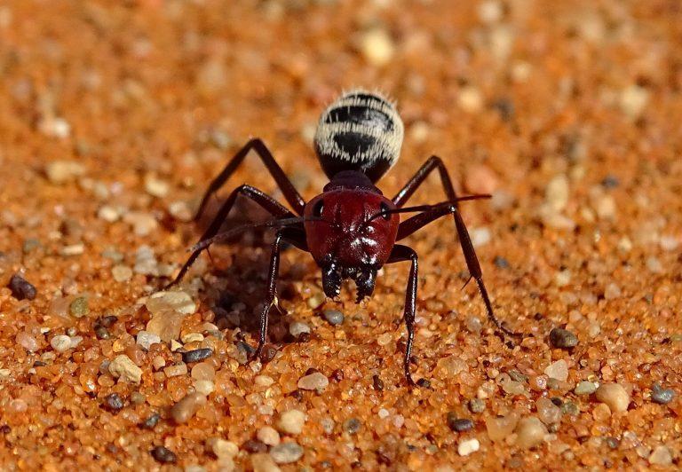 Desert ants are full of details optimized for desert life.