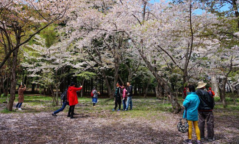 Enjoying sakura selfies in Maruyama Park.