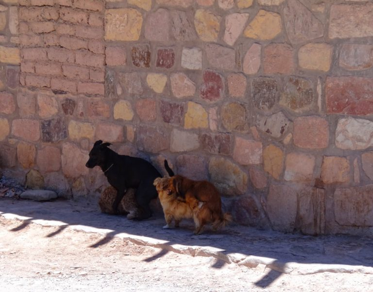 Like everywhere in South America, new dog breeds are rapidly evolving every day.