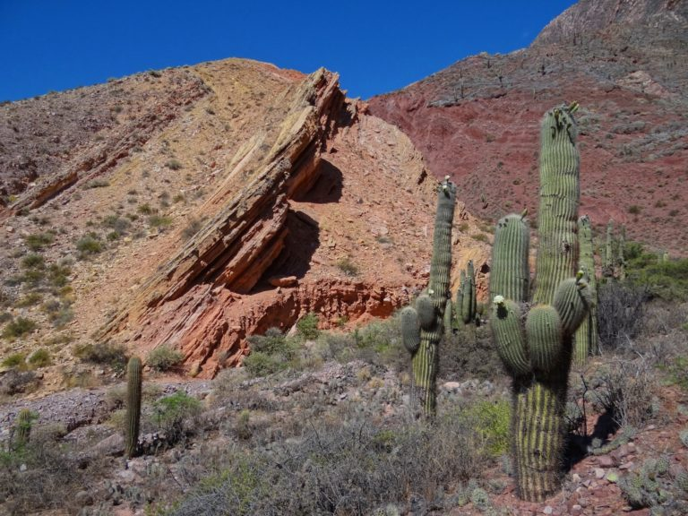 Echinopsis terscheckii, the Argentine Saguaro, growing in Quebrada Humahuaca in northern Argentina.
