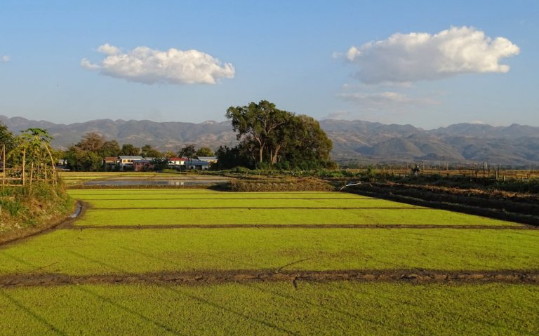 Rice is incredibly green as it grows out of the wet ground.