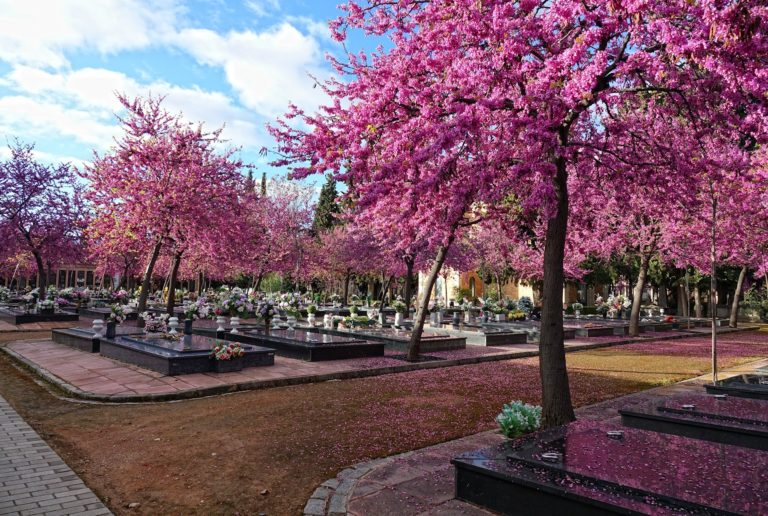 Blossoming trees at a cemetery in Granada, Spain.