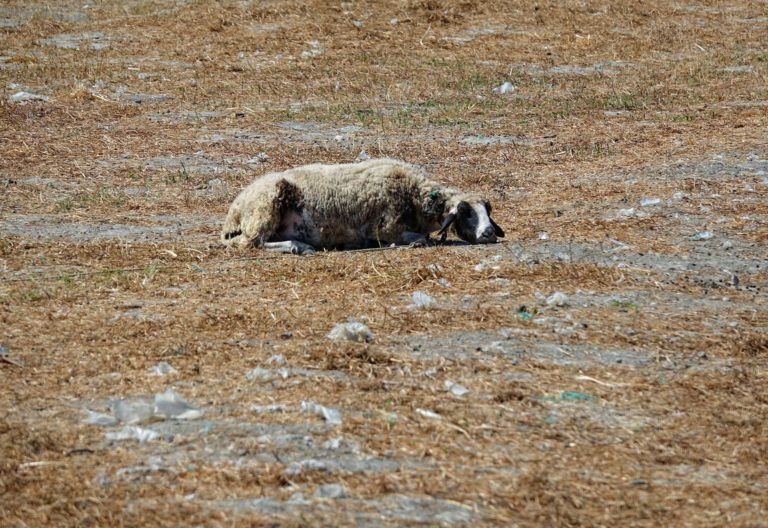 Photo of overcooked sheep in Turkey.