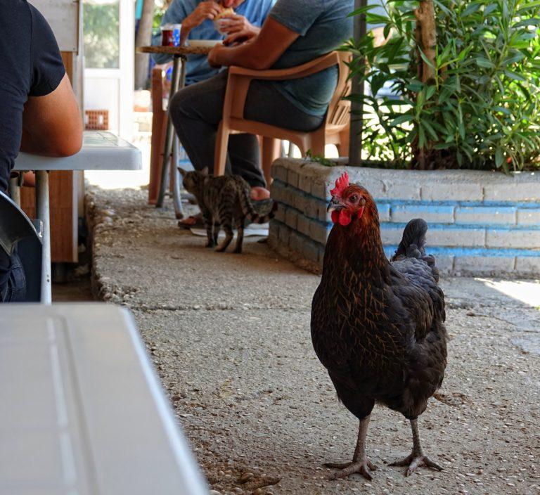 Photo of animals in a restaurant in Kinik, Turkey.