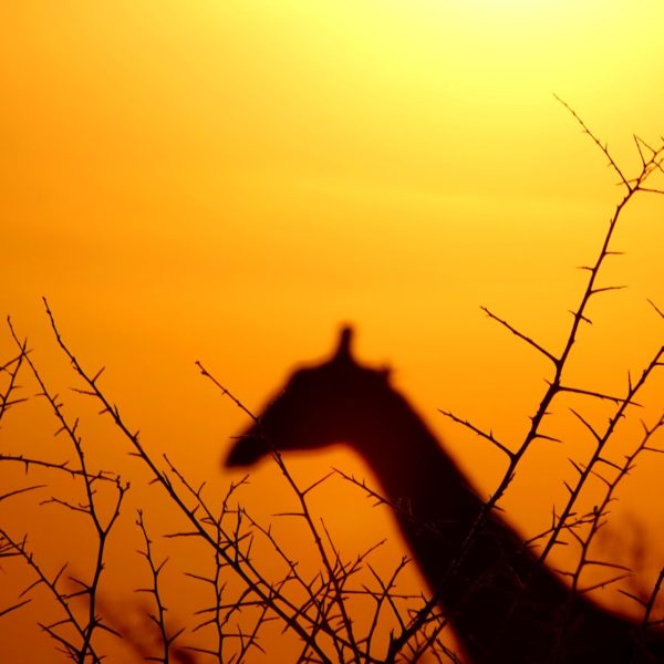 Photo of silhouette giraffe head against setting sun in Africa.