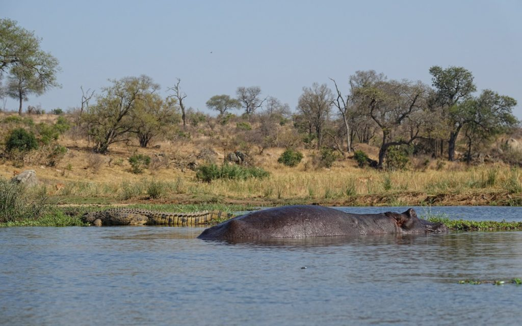 Photo of crocodile and hippopotamus in Kruger Park, South Africa.