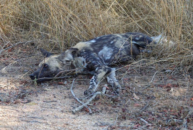 Photo of wild dog lying the grass in Kruger Park.