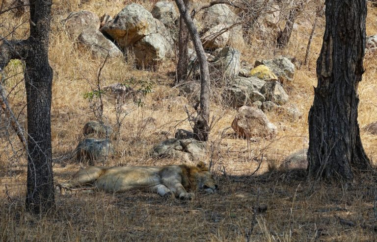 Photo of sleeping lion in Kruger Park, South Africa.