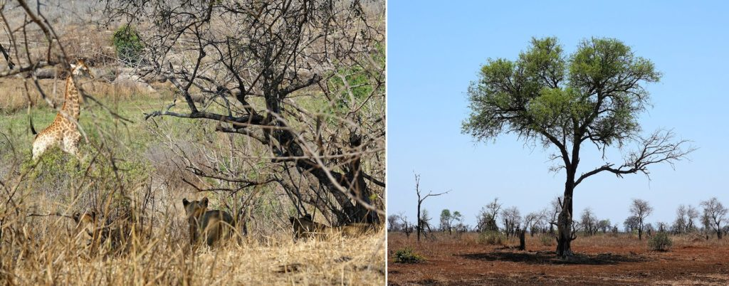 Photo of giraffe first being hunted, then hiding behind a tree in Kruger Park, South Africa.