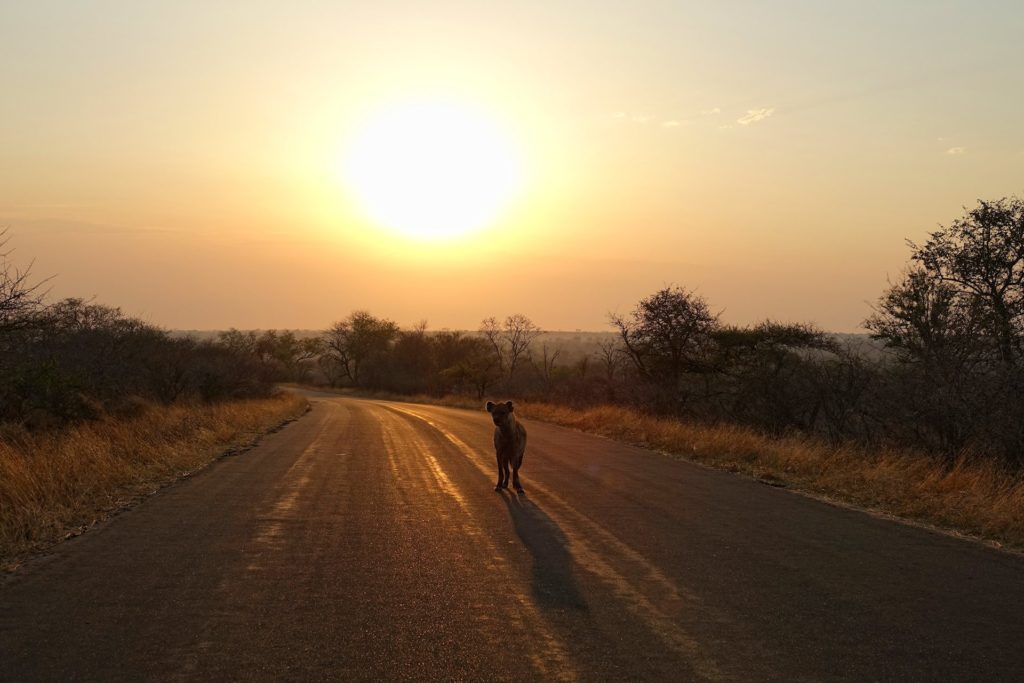 Photo of a hyaena on the road at sunrise in Kruger Park, South Africa.