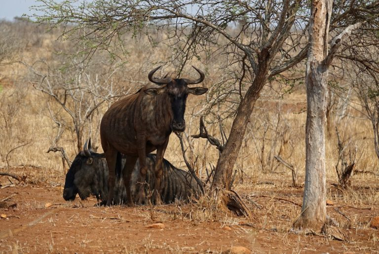 Photo of two wildebeest at Tshokwane in Kruger Park, South Africa.