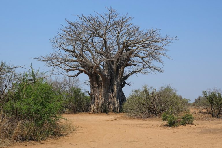 Photo of the world's southernmost baobab tree growing in the wild.
