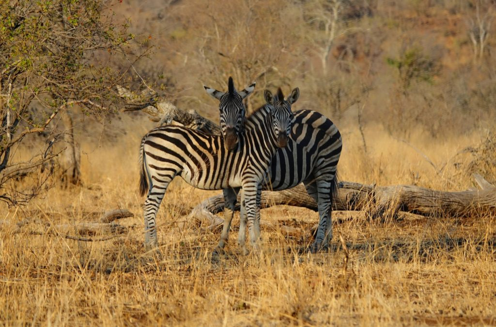 Photo of two zebras being cute in Kruger Park, South Africa.
