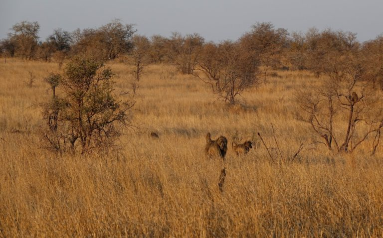Photo of baboons walking in tall grass in Kruger Park, South Africa.