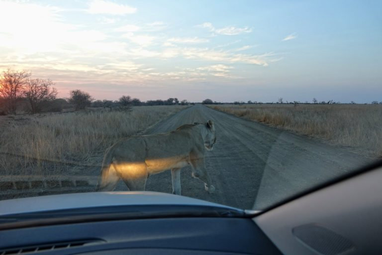 Photo of lion walking in front of car in Kruger Park, South Africa.