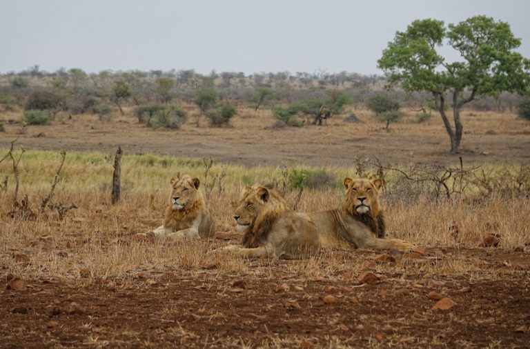 Photo of three male lions lying down in Kruger Park, South Africa.