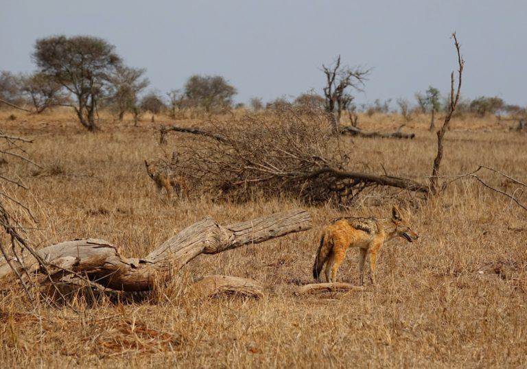 Photo of black-backed jackals in Kruger Park, South Africa.