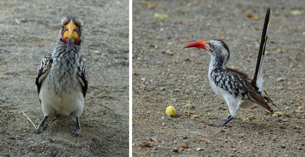 Photos of red-billed hornbill and souther yellow-billed hornbill in Kruger Park, South Africa.