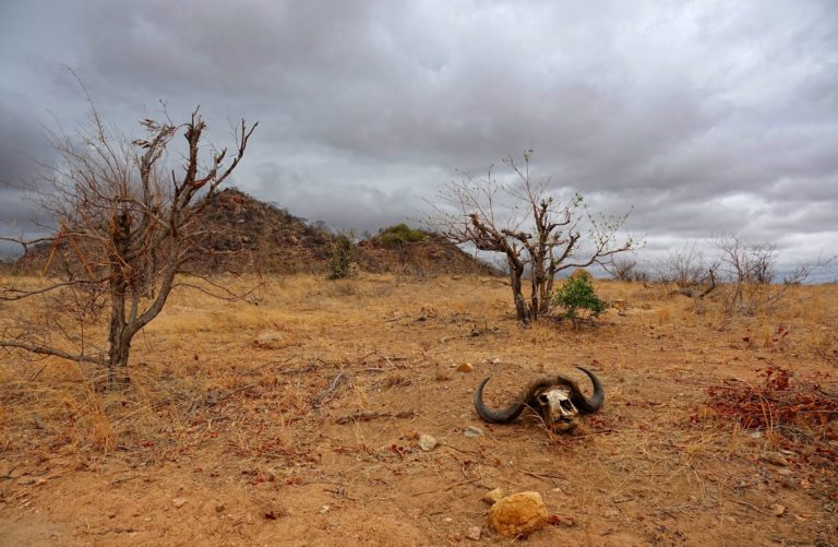Photo of buffalo skull lying on the ground in Kruger Park, South Africa.