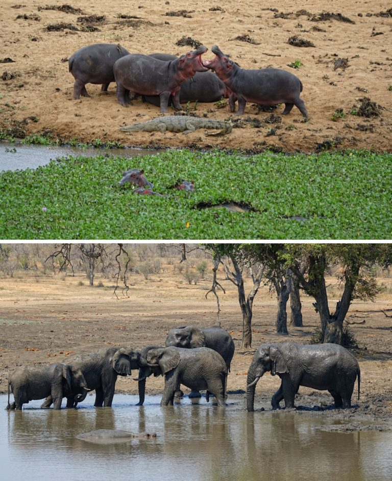 Photos of hippos harassing and being harassed in Kruger Park, South Africa.