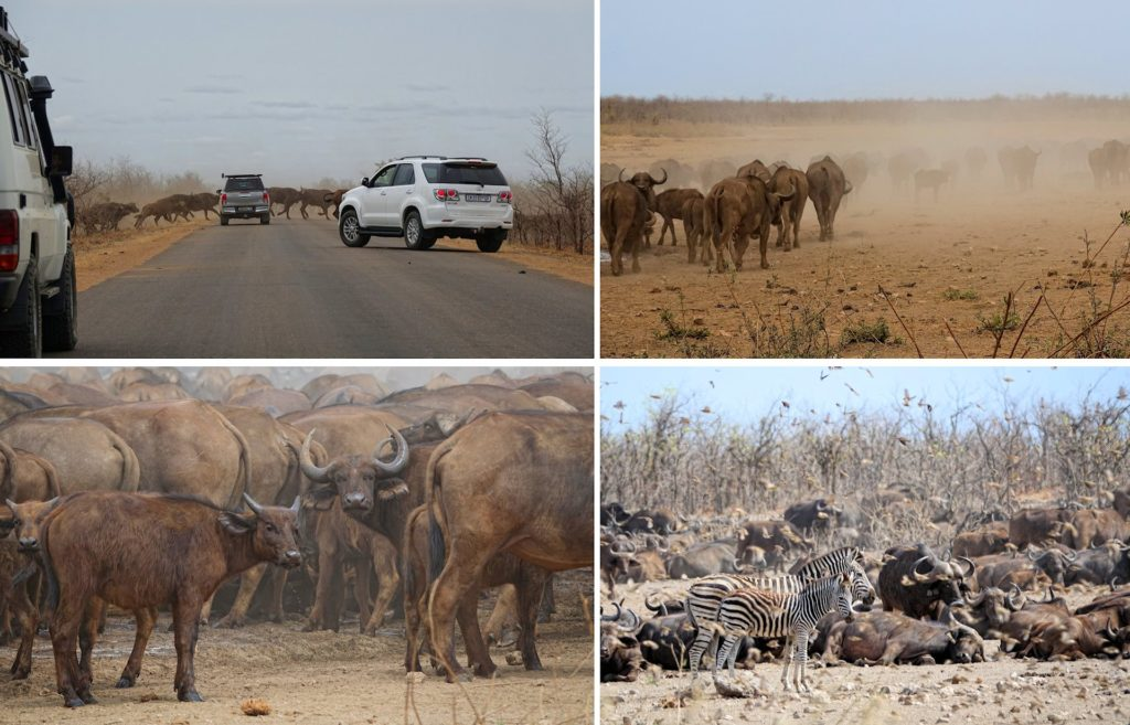Photos of cape buffalos creating a dust cloud in Kruger Park, South Africa.