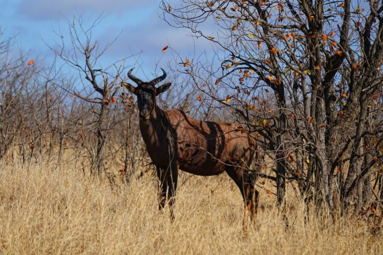 Photo of tsessebe antelope in Kruger Park, South Africa.