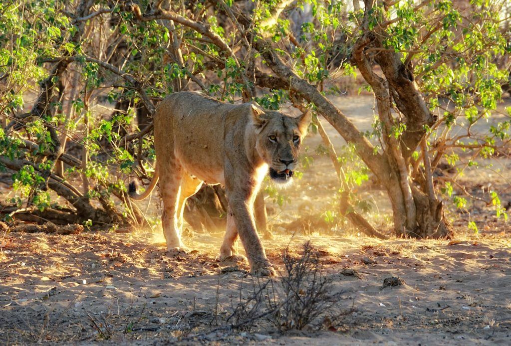 Photo of lion on the move at Kanniedood in Kruger Park, South Africa.