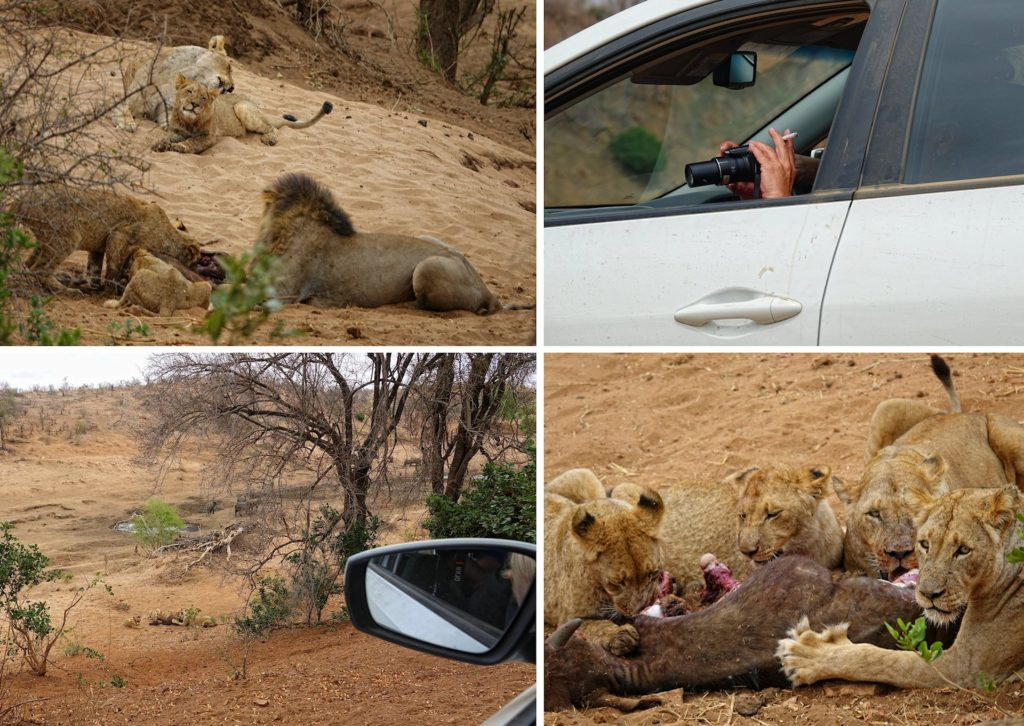 Photos of lions eating a buffalo calf in Kruger Park, South Africa.
