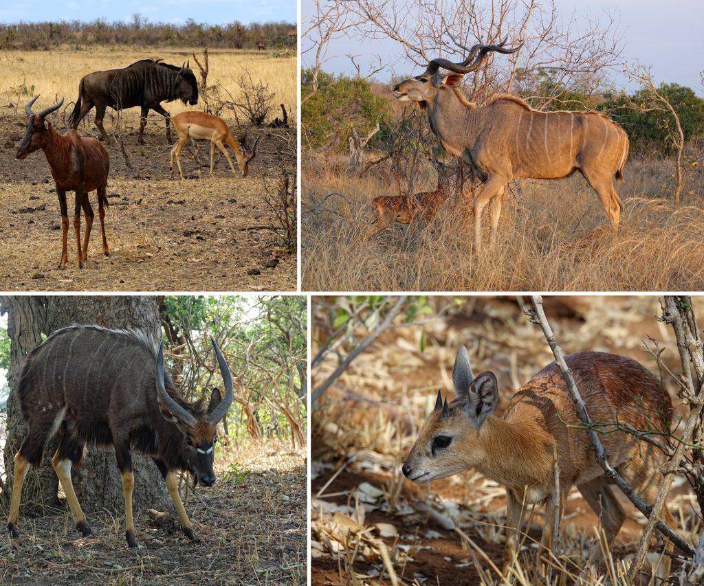 Photo of various antelope species in Kruger Park, South Africa; wildebeest, impala, tsessebe, kudu, nyala and grysbok.