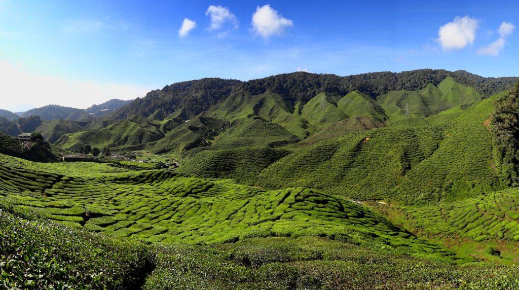 Photo of a tea plantation in the Cameron Highlands, Malaysia.