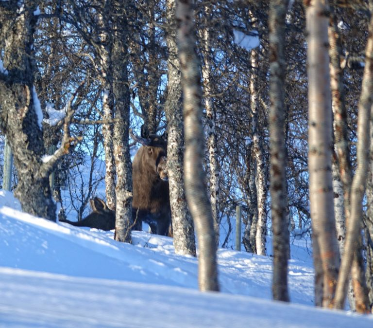 Photo of two moose hiding in the forest in Polar Park, Norway