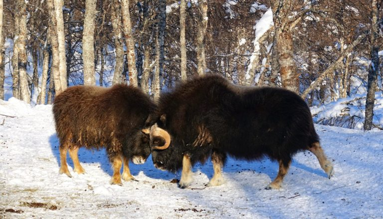 Photo of two young musk oxen battling it out in Polar Park, Norway