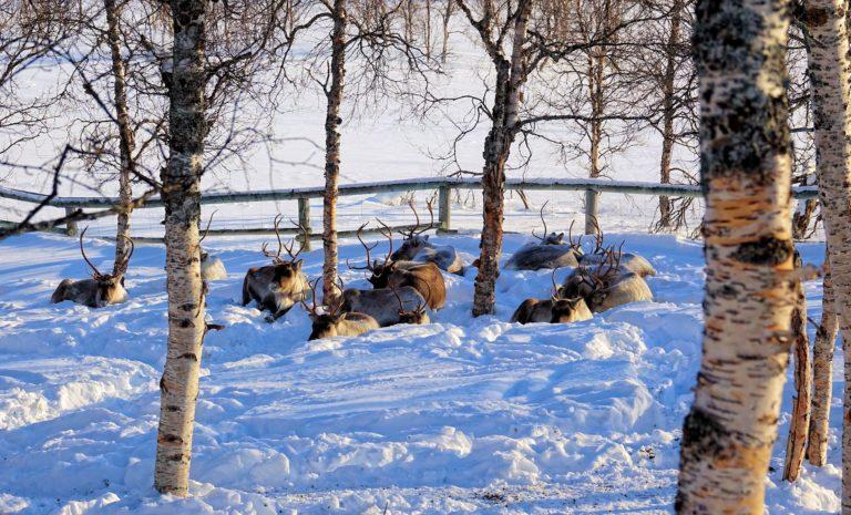 Photo of herd of reindeer lying down in Polar Park, Norway