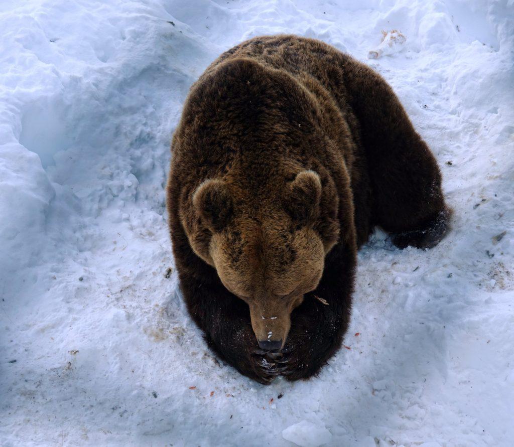 Photo of bear that prays for fresh prey
