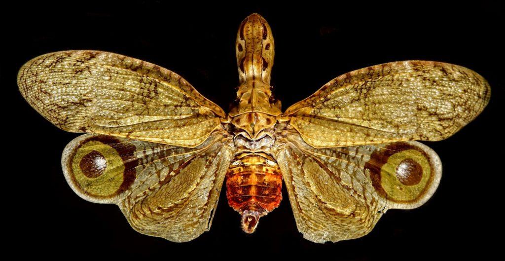 Photo of fulgora lampetis.