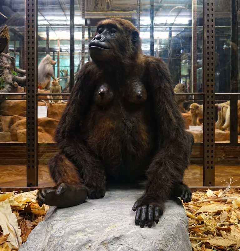 Photo of ape taxidermy.
